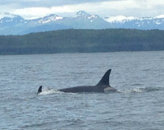 orcas2-cropped