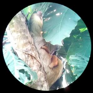 costa rica jaycee jarvis sloth