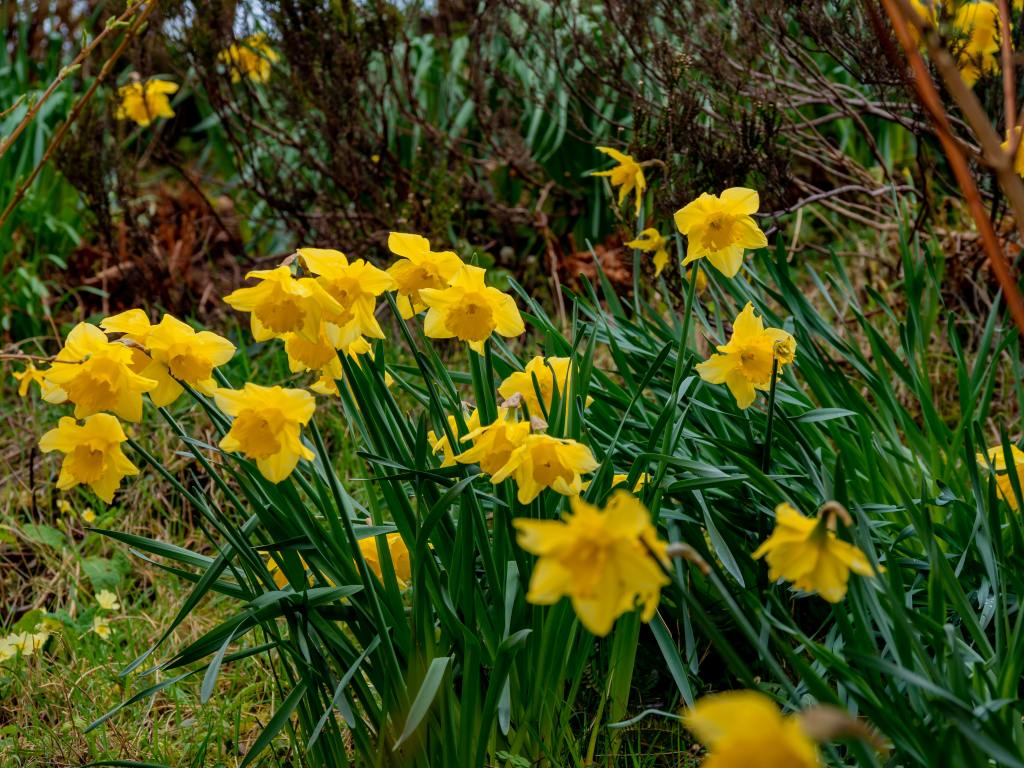 Daffodils in bloom outside